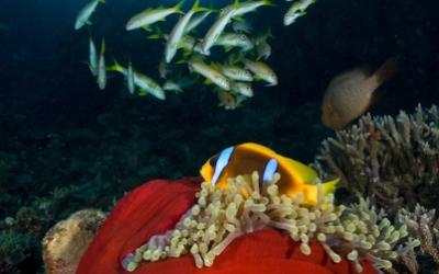 Egypt underwater clownfish