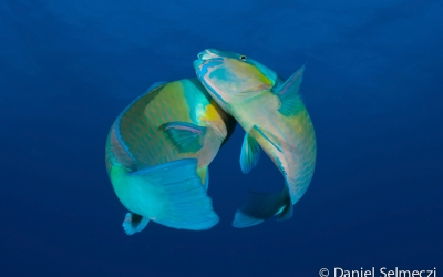 Egypt underwater parrotfish