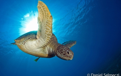 Red Sea turtle underwater photo