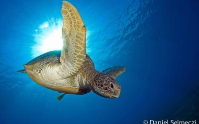 Red Sea turtle underwater photo