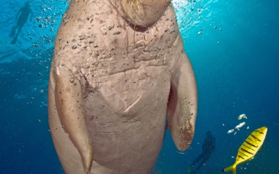 Red Sea dugong underwater