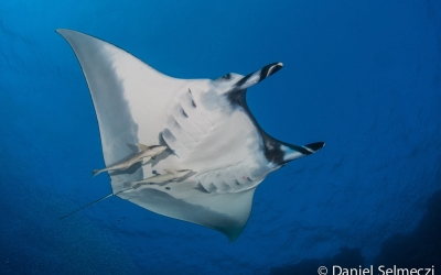 Red sea manta underwater