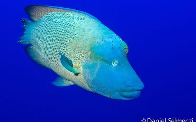 Egypt underwater napoleron fish