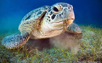 diving with turtles in the Red Sea