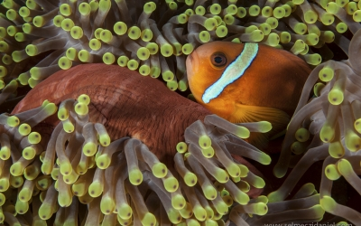 Clownfish in the Red Sea Sudan