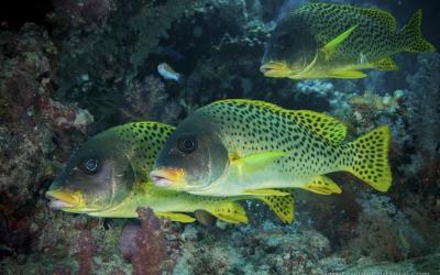 Red sea diving safari sudan fish
