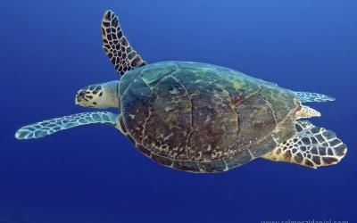 Turtle at Angarosh in Sudan