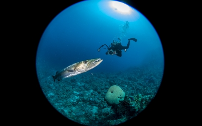Scuba diving with Barracuda in the Red Sea