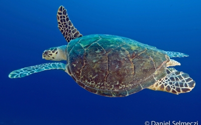 Red Sea Sudan turtle