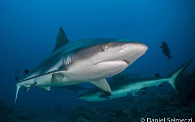 Red Sea Sudan shark
