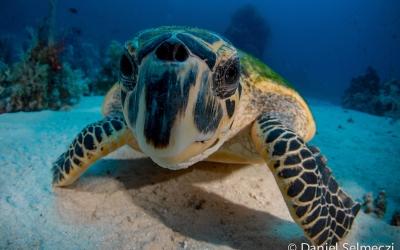 Red Sea Sudan turtle
