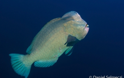 Red Sea Sudan bumphead parrotfish