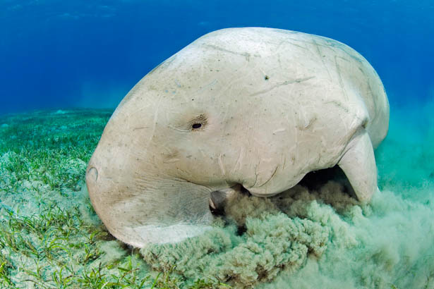 Dugong in Egypt