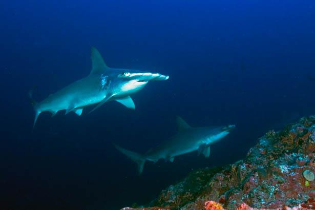 Shark watching at Shaab Rumi