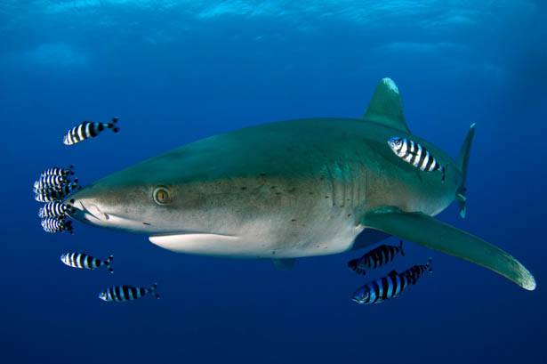 Shark in the sudanese Red Sea