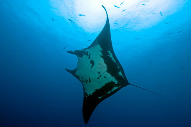 Red Sea manta