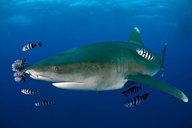 Red Sea shark