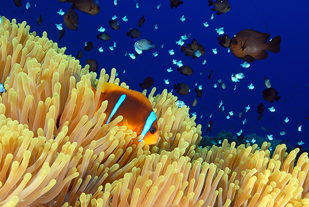 Clown fish Red Sea
