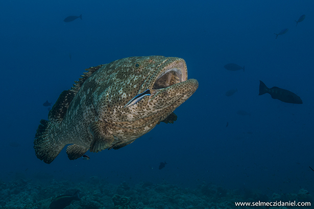 spawning season of the brown-marbled groupers