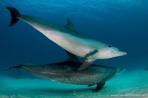 bottlenose dolphin Red Sea