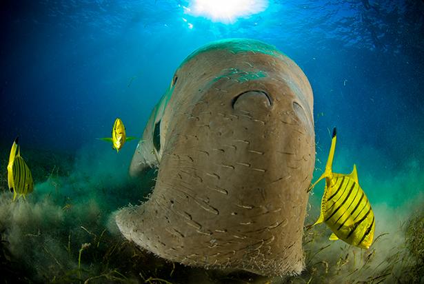 Dugong RED SEA EGYPT Dugong dugon