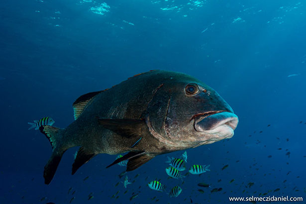 gibbus sweetlips in the Red Sea