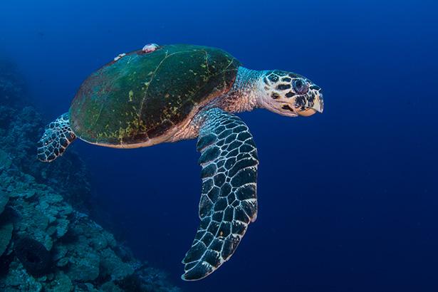 Sea turtles in Sudan