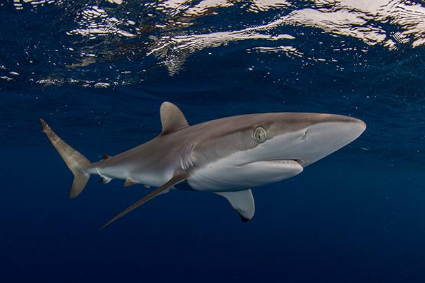 shark in Sudan