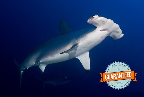 Shark guarantee in Sudan