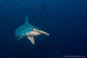 Hammerhead shark Red Sea