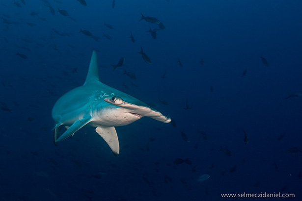 Hammerhead shark Red Sea