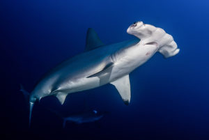 Diving with Sharks in Sudan
