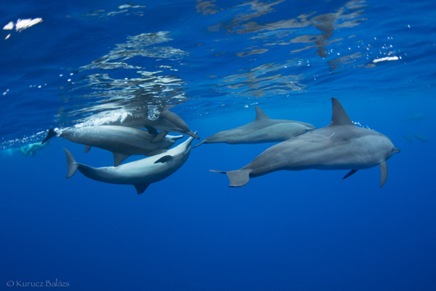 Dolphins in Egypt, Red Sea