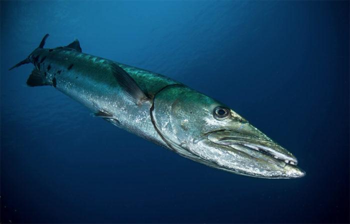 barracuda Red Sea Sudan
