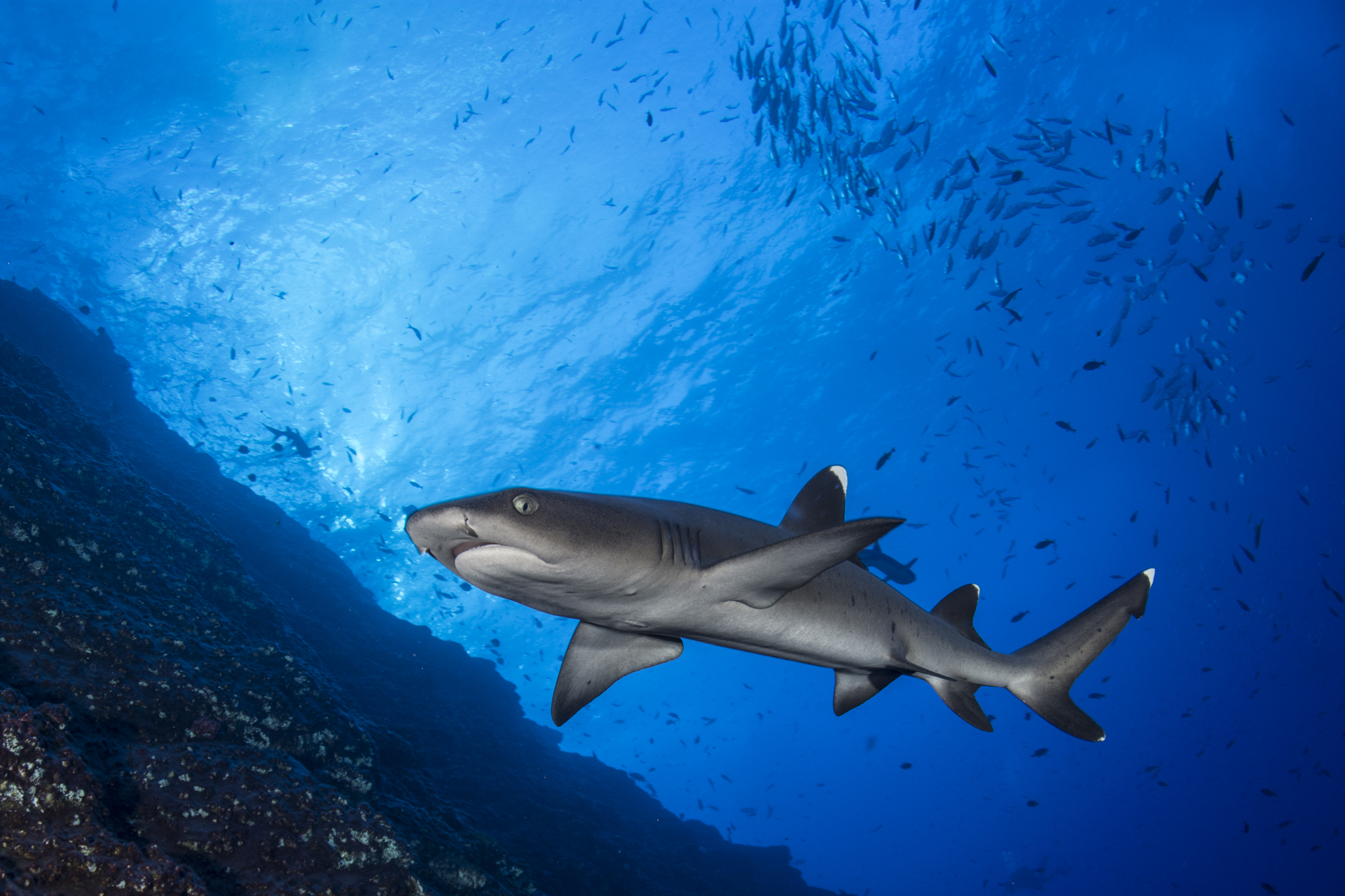 Shark Red Sea Diving Safari With M Y Cassiopeia And M Y Andromeda Liveaboards And Diving Safaris In Egypt Sudan